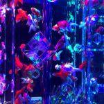 今年で10周年♪8000匹の金魚が彩るアートアクアリウム展